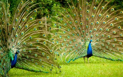 Peacocks, Peahens & Primm