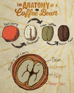 Photo of bags of ground coffee next to a diagram depicting the anatomy of a coffee bean before roasting.