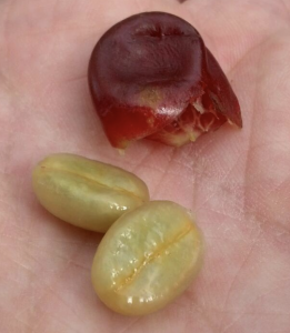 Coffee cherry with the skin removed to reveal the green coffee bean inside
